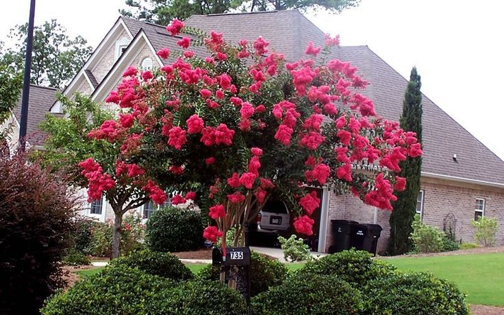 Arapaho Crape Myrtle  20-25 feet high at maturity;   Bright red flowers; Maroon fall foliage~