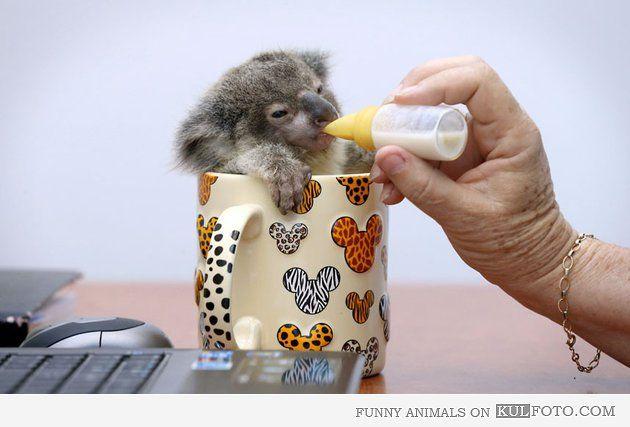 Baby Koala Feeding Time Cute And Funny Baby Koala