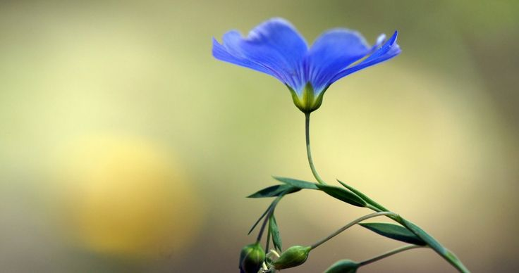 blue flower buds 4k ultra hd wallpaper