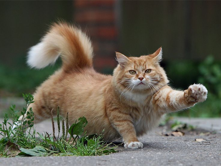 pilattesBig Cat, Kitty Cat, Orange Cat, Funny Cat Photos, Stretch, Fat Cat, Gingers Cat, Kittens, Animal