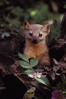 American Marten (Pine Marten) - Martes americana - Broadly distributed in northern North America from the limit of treeline in Arctic Alaska and Canada to northern New Mexico, this marten is of the family Mustelidae