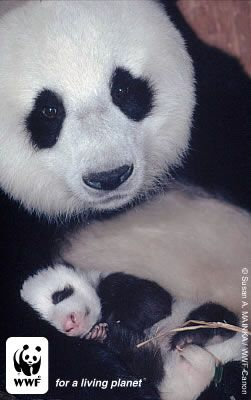Giant female panda named n°8 with her 1 month old baby.  Wolong Nature Reserve, China. / ©: Susan A. MAINKA / WWF-Canon