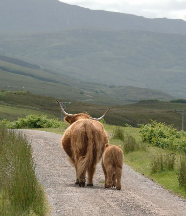 Highland Roads - Highland Cow and Calf | Flickr - Photo Sharing!