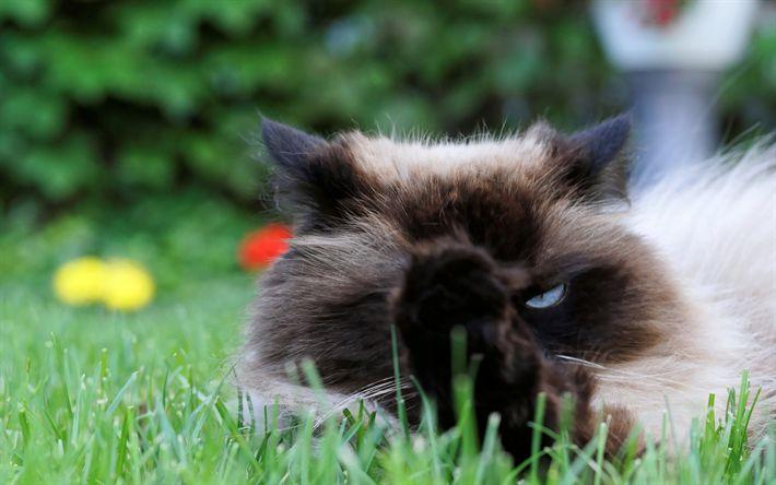 Download wallpapers Burmese cat, green grass, cute animals, breeds of fluffy cats, beautiful cats