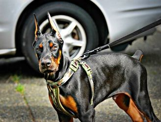 European Doberman Puppies for Sale - Esteem Dobermans