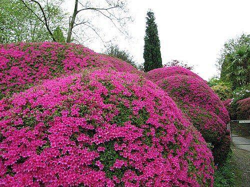 Декоративные цветущие кустарники в твоем саду