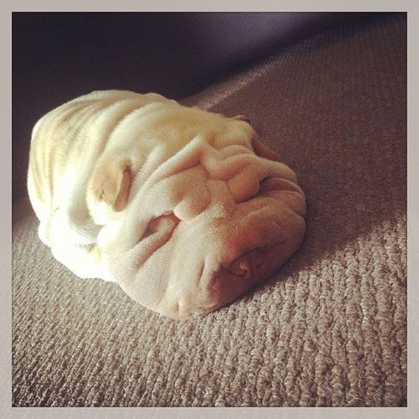 Lose yourself in the wrinkles and folds of these 10 Shar-Pei puppy photos -- too cute for words.