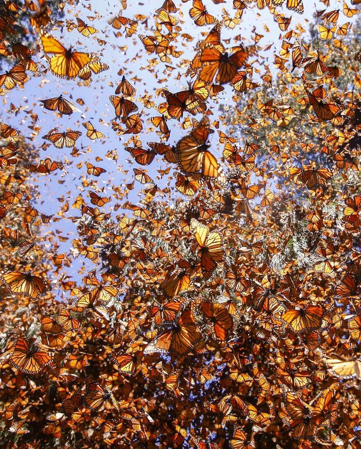 There Were 1 Billion Monarch Butterflies. Now There Are 93