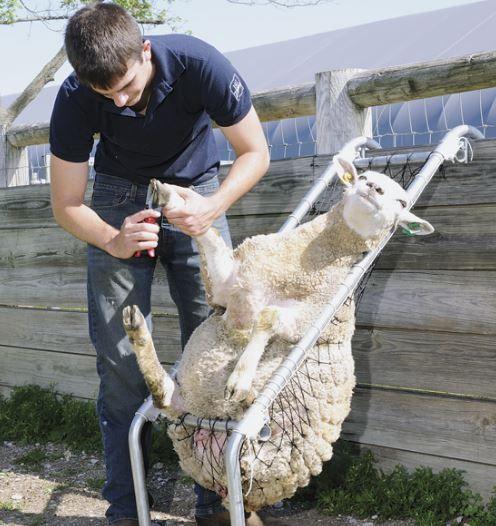 Sheep chair 3.JPG
