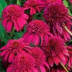 Buy Double Scoop Cranberry Coneflower at Spring Hill Nursery