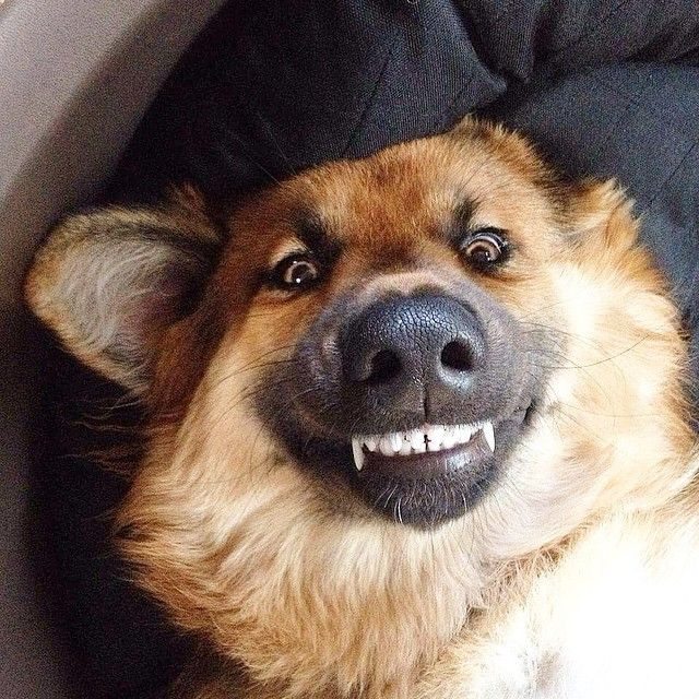 German Shepherd smiles & Saturday morning silliness here..  Order an oil painting of your pet today at petsinportrait.com