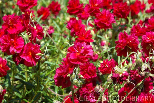 """Helianthemum 'Cerise Queen' (Rockrose, Sunrose), perennial, USDA Zone 4-9, 8""""-12"""" tall x 18""""-24"""" wide, full sun, normal/sandy/clay soils, well drained soils, blooms: small double magenta-pink pompoms late spring - mid summer, sheer after flowering, shrubby mound shape w/ narrow gray-green leaves, borders and edges, rock gardens, alpine, trough, containers, drought tolerant once established, rabbit resistant, evergreen ground cover, good for massed plantings"""