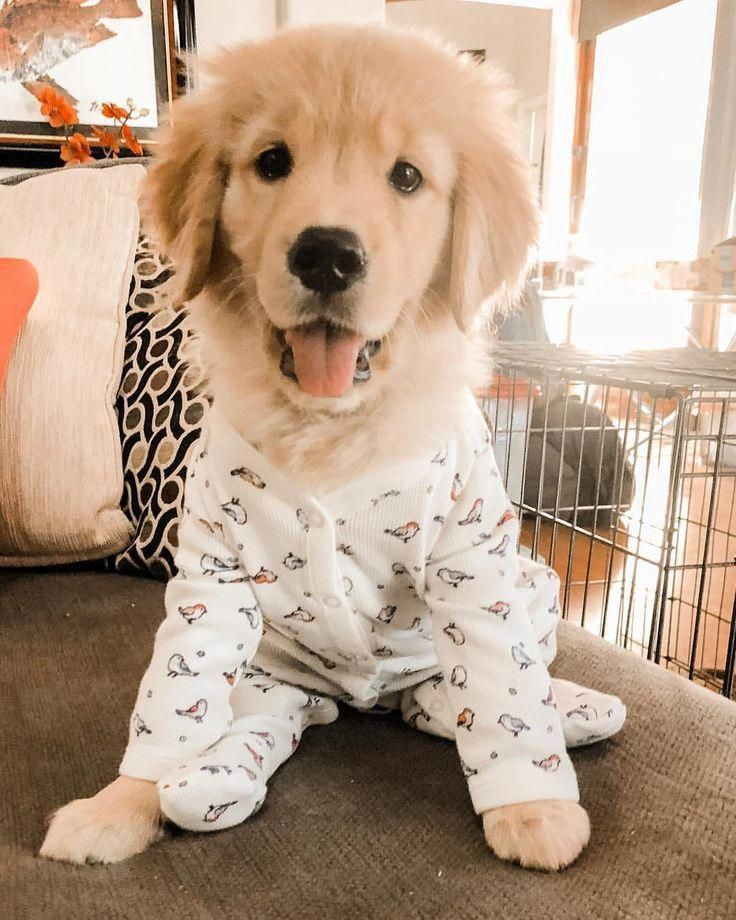 All About The Friendly Golden Retriever Puppies And Kids