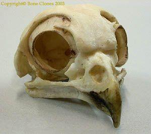 201 best images about Bones, skulls, horns on Pinterest ... - photo#28