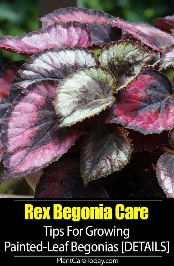 Painted Leaf Begonia Care Tips For Growing Rex Begonia Plants Begonia Best Indoor Plants