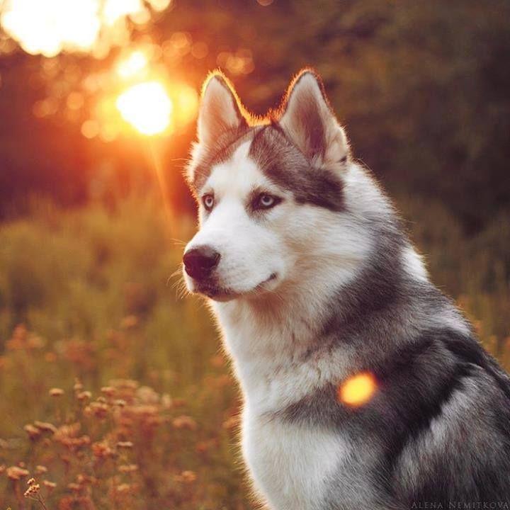 любит фото крутых собак хаски явных различий