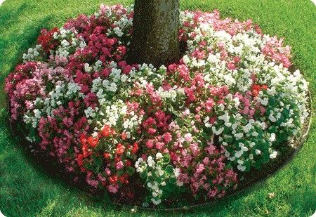 Impatiens, to be planted around our River Birch tree in the front. I love this ground cover look.