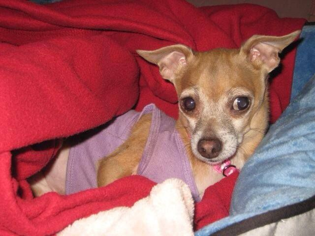 LOST CHIHUAHUA East Allen Township Pa Near Bicentennial Park Missing Since 7