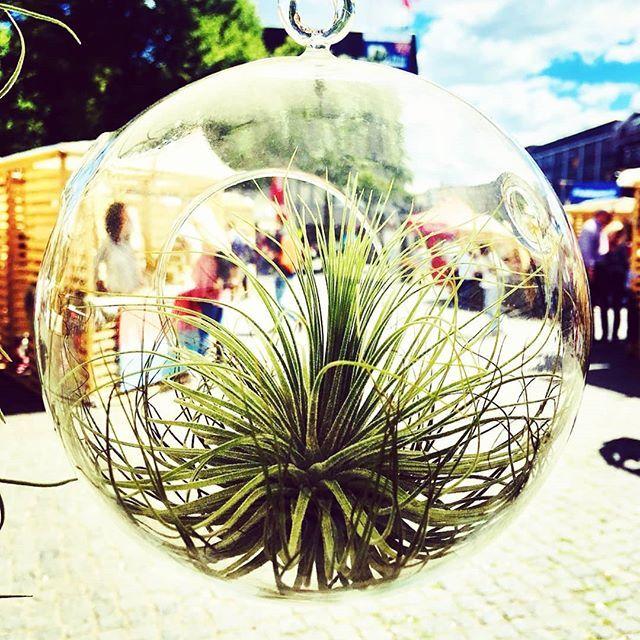 Luftpflanzen Berlin the best nest #magnusiana #hangingplants #tillandsiamagnusiana