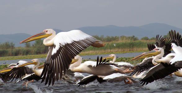 A flock of Dalmatian pelicans.
