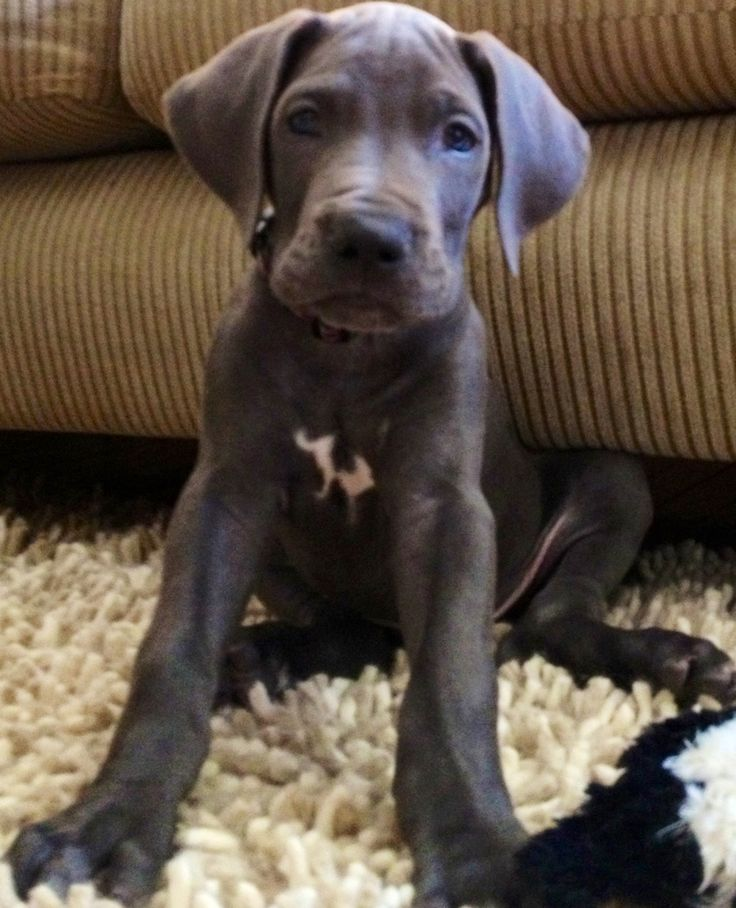 Remington - blue Great Dane puppy