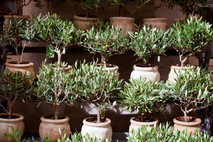 die besten 25 olivenbaum ideen auf pinterest reinigung beton terrassen eternit blumenkasten. Black Bedroom Furniture Sets. Home Design Ideas