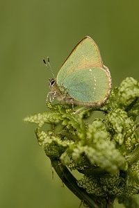 Hairstreak vert (rubi de Callophrys),: Vertes Butterflies, Rhopalocera Butterflies Flying,  Lycaenid Butterflies, Rhopalocerabutterfli Flying, Butterflies Moth, Butterflies Ruby, Ƹӂʒ Rhopalocerabutterfli, Butterflies Bugs, Flying Away