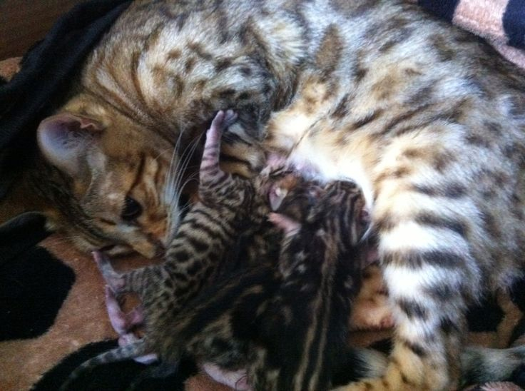 Our bengal kittens