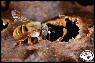 As abelhas sem ferrão Brasileiras. (ASF)