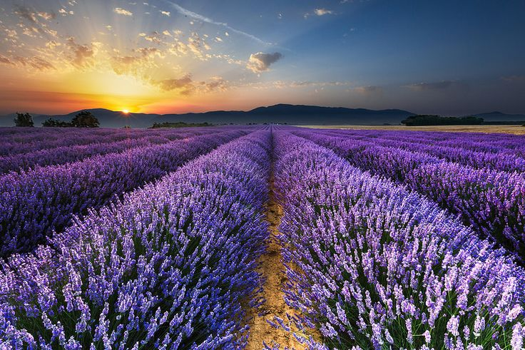 Sunrise on the Lavender Fields in Valensole , Provence