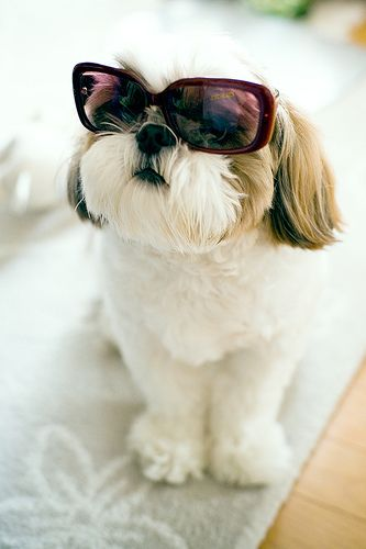 LOL! Shih Tzu in sunglasses.