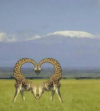 Aninimal Book: twin giraffes making a heart!! | Hearts, Hearts ...