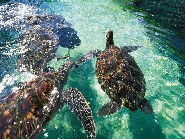 Hulaland Beach Blog: Hawaiian Green Sea Turtles at Maui Ocean Center