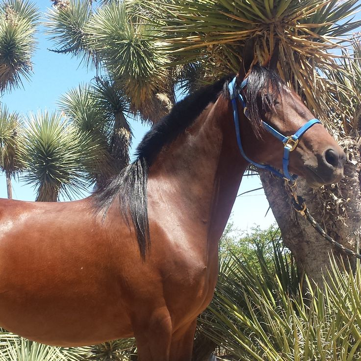 Carambola a Chilean horse owned by Kendall Melline from Proven Spots Ranch