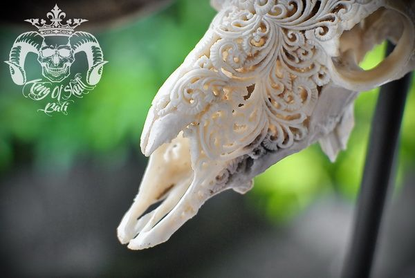 Vintage Taxidermy Hand Carved Indonesian Ram Skull with Lovely Wide XL Horn Great For Home Decor