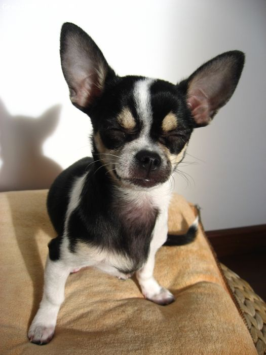 17 Best images about Chihuahuas on Pinterest | Chihuahuas ...