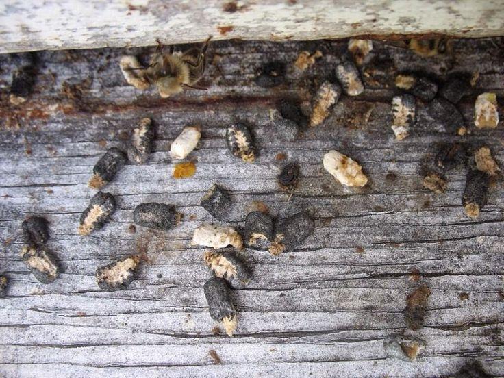 Ορεινή Μέλισσα: Πως θεραπεύουμε την ασκοσφαίρωση? Μελισσοκομικά μυστικά...
