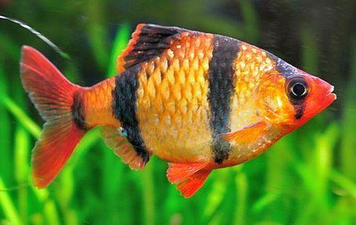Tiger Barb (Puntius tetrazona | Aquarium fish