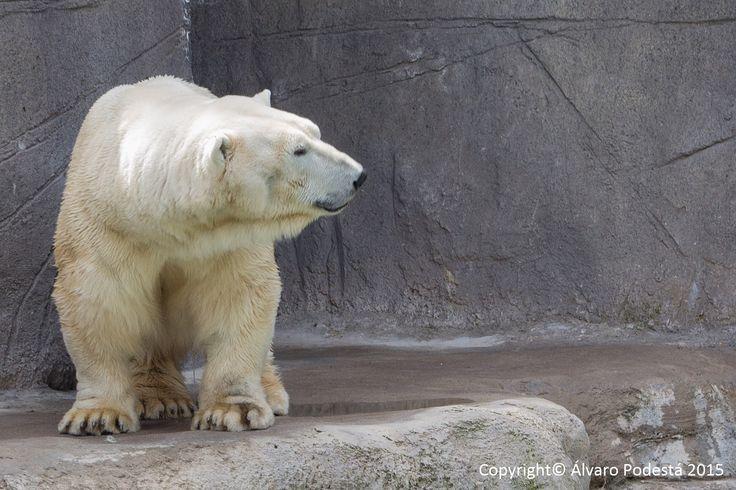 Un oso polar risueño