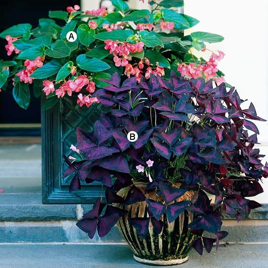 Select Easy Plants  Select Easy Plants  This unusual pairing of easy-growing but striking plants makes a statement in partial shade. Each container complements its contents perfectly.  A. Begonia 'Dragon Wing Red' -- 3  B. Oxalis regnellii -- 5