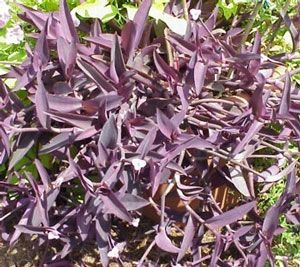 purple heart setcreasea plant thinking look nice as ground cover around letterbox i have indoor gardeningindoor plantssmall