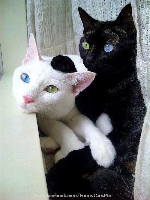 Black and white cats. Both of these kitties have heterochromia iridum, a genetic trait in which the eyes are two different colors