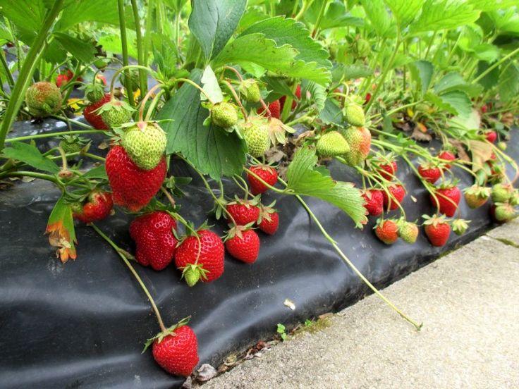 planter des fraisiers sur bache -comment planter des fraises sans travail et entretien ma passion du verger passion potager