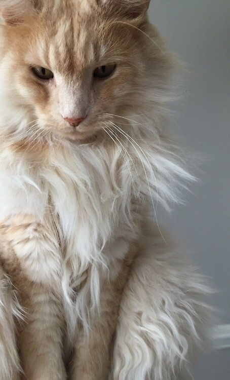 i will name him Absalom. cream Maine Coon.