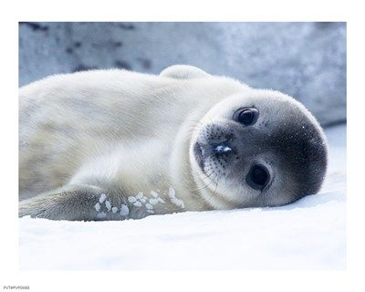 Baby Seal | Cute Animals | Pinterest
