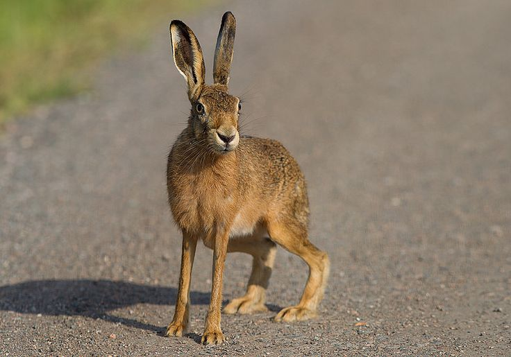 BROWN HARE . | Flickr - Photo Sharing!