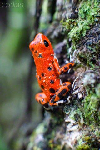 Strawberry Poison Frog (Dendrobates pumilio)