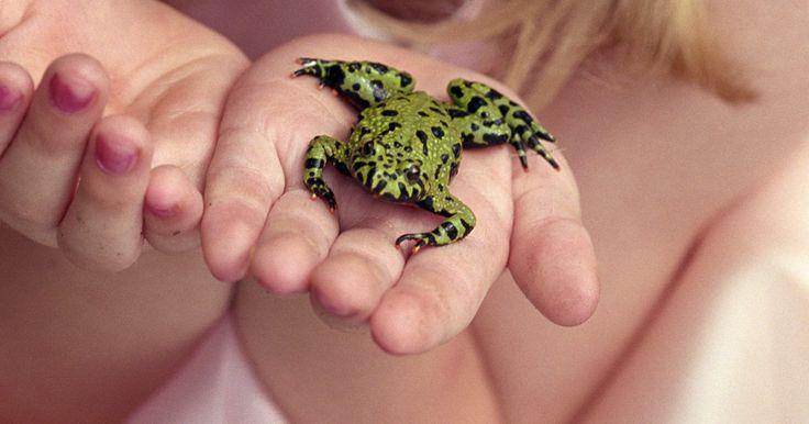¿Las ranas necesitan tierra para vivir?. Las ranas son anfibios, lo que significa que viven parte de su vida en el agua y parte de su vida en la tierra. Respiran aire y, a menudo pasan la mayor parte de su vida adulta en la tierra, aunque algunas especies acuáticas viven en el agua, como el Pipa pipa o Xenopus laevis. Hay muchas especies diferentes de ranas y todas tienen sus propios ...