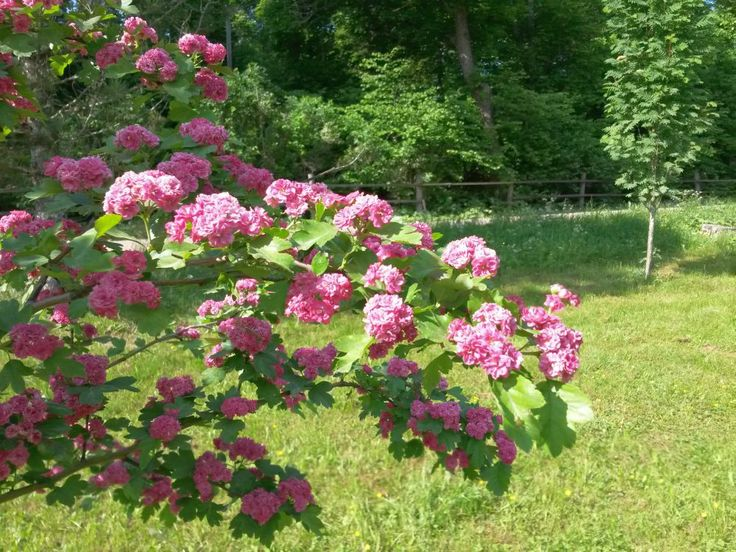 Crataegus laevigata 'Paul's Scarlet' Ruusuorapihlaja. Rosenhagtorn #Mustila #summer2014