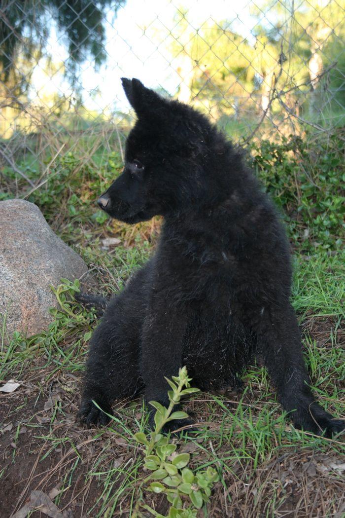best 25  black german shepherds ideas on pinterest
